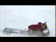 Dog Rides Sled Thug Life