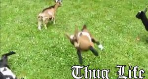 Baby Goat Thug
