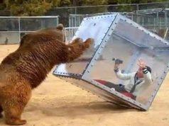 Bear Attacks Cube