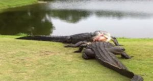 Alligator Fight