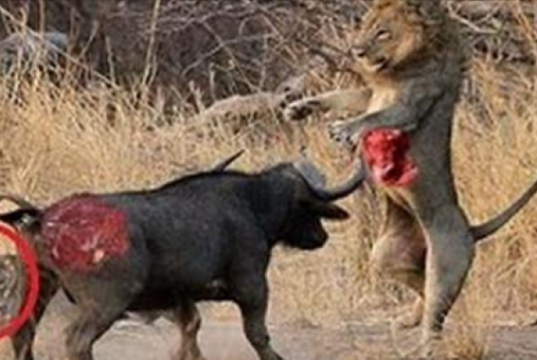 Buffalo vs lion
