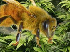 Cannabis Bees