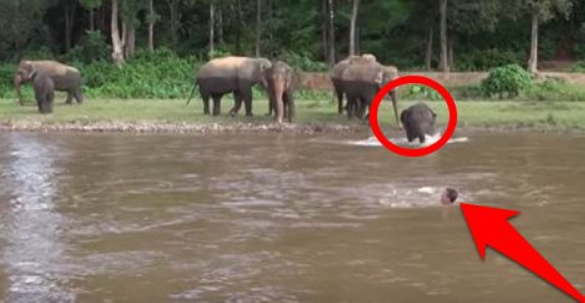 elephant-saves-human