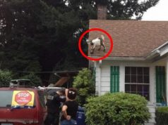 goat-on-roof