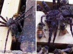 bees-kill-spider