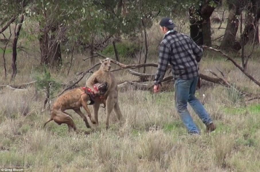 man-punches-kangaroo