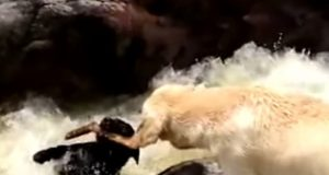 Dog Saves Dog On Rapids