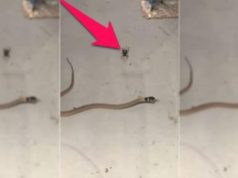 Redback Vs Snake