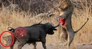 Buffalo vs lion