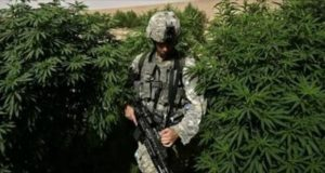 Soldier in Afghan cannabis field