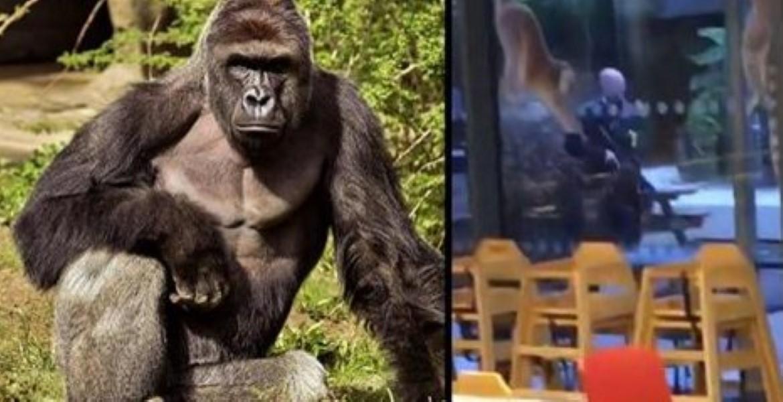 london-zoo-gorilla